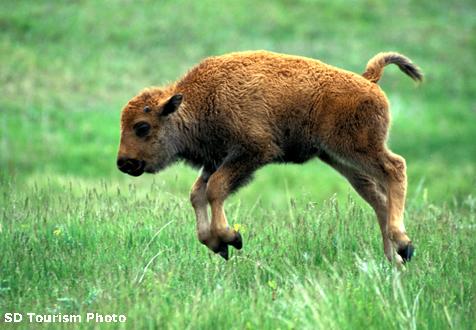 baby-buffalo-476-copy